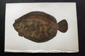 Couch 1877 Antique Fish Print. Brill 162